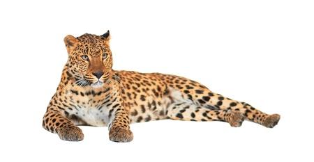 Leopard, Panthera pardus, on white background, studio shot.