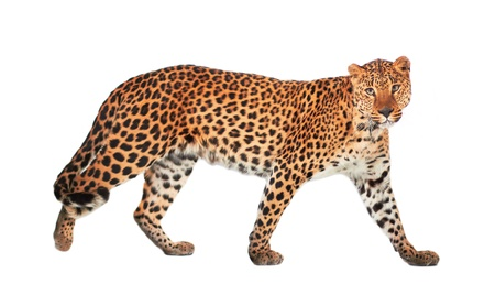 leopard: Leopard, Panthera pardus, on white background, studio shot.