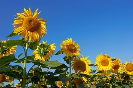 sunflower field: Sunflowers and blue sky Stock Photo