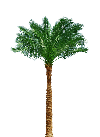 tropical forest: Palm tree isolated on white background