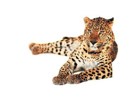 Lampart, panthera pardus, na białym tle, łapka.