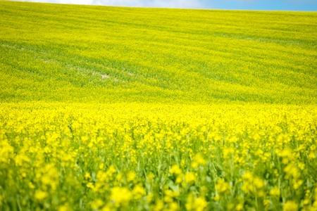 canola field Фото со стока