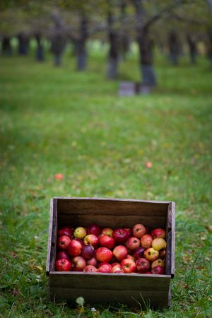 A Box of freshly picked organic apples in an orchard Stock Photo - 5775824