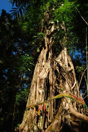 banyan: Banyan Maisi en cascada Foto de archivo