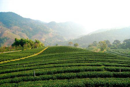 Tea plantation in MaeSalong hill, ChaingMai, Thailand photo