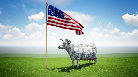 cash cow: Cash cow standing on the green grass field under the American flag