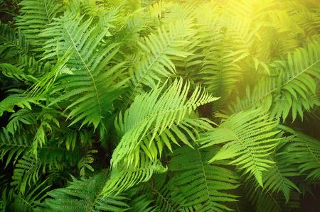 fern: Vintage photo of fern shrubs. Pteridium aquilinum Stock Photo