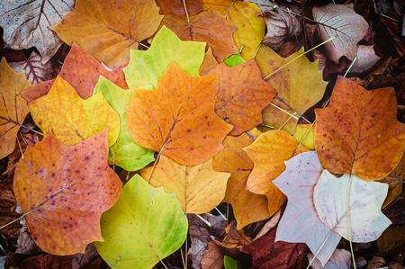Autumn leaves background. Tulip poplar Reklamní fotografie