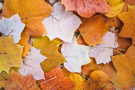poplar: Autumn leaves background. Tulip poplar Stock Photo