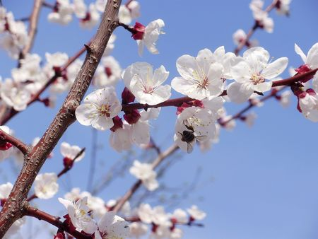 the far east: A bee on a flower apricot tree in the garden in the Far East of Russia. Stock Photo