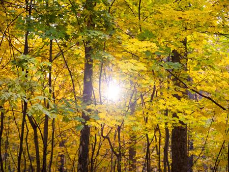 Sunrise in autumn forest .Bright foliage in sunny autumn park