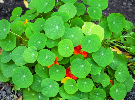 nasturtium leaves and flowers. Small flowers hidden in green leaves