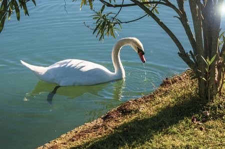 White swan on the pond, New Athos, Abkhazia Reklamní fotografie