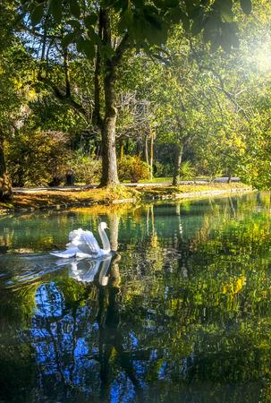 White swan on the pond, New Athos, Abkhazia Stok Fotoğraf