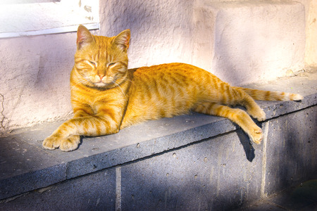 Red cat on the street, red tabby longhair furry cat, red cat basking in the sun Reklamní fotografie - 123077532
