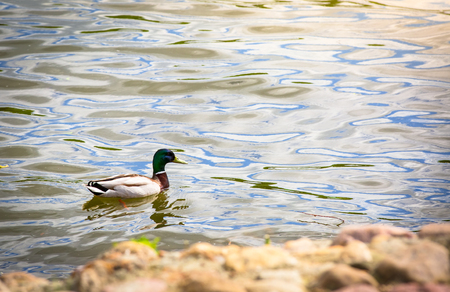 Birds and animals in wildlife. Amazing mallard duck swims in lake or river with blue water under sunlight landscape. Closeup perspective of funny duck. Banco de Imagens