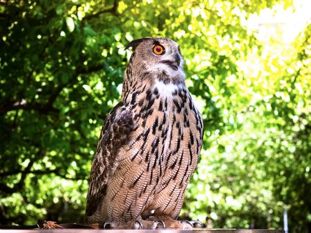 European Eagle Owl. Portrait closeup of a cute and beautiful spotted Eurasian eagle owl. Reklamní fotografie - 124627677