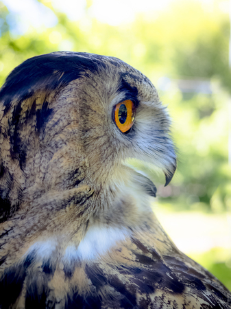 Owl face close up.European Eagle Owl.Side view