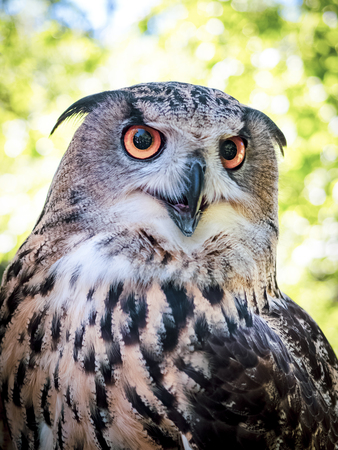Owl face close up. Great Horned Owl. Who are you. A close up of a Great Horned Owl