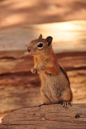 squirrel in grand canyon Arizona USA photo