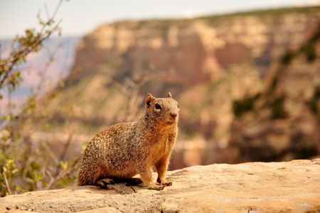 Squirrel in grand canyon photo