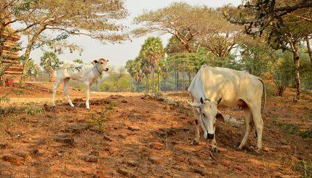 calf cow: Cute calf cow in Bagan Myanmar