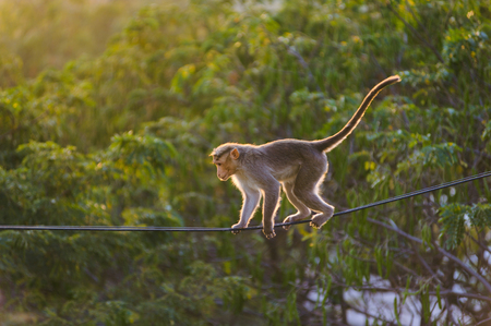 dexterous Monkey walking on the the electric wire in the jungle Stock Photo