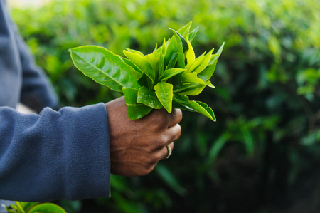 Indian mans hand keeping fresh tea leafs