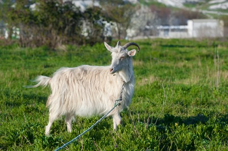 one goat in a green meadow on a leash and looking at camera