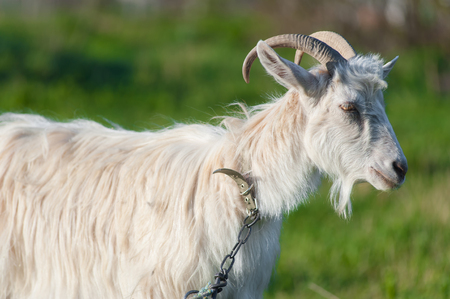 one adult goat in a green meadow on a leash. Close up portrait photo