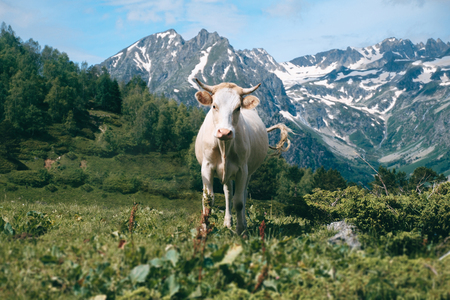 alone white cow stands in the mountain valley at snowy peaks background and looks in camera