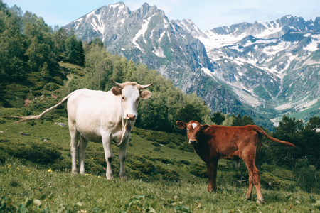 white cow stands in the mountain valley at snowy peaks background with little calf and looks in camera Imagens