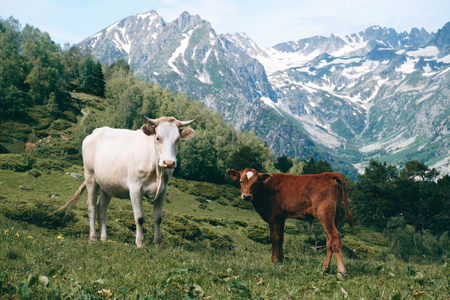 white cow stands in the mountain valley at snowy peaks background with little calf and looks in camera