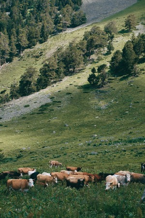 cows herd stands in the mountain valley at green hill background Imagens