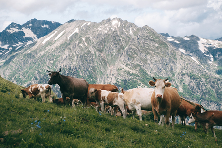 cows herd stands in the mountain valley at snowy peaks background and looks in camera
