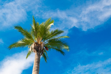 one palm tree at blue cloudy sky background. copy space
