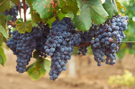bunch of black grape at vine. ripe purple bunch. outdoor country scene. harvesting season concept. close up shot with copy space