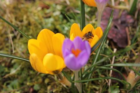 Messenger: Crocus the first spring messenger