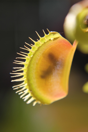 venus: Venus flytrap  Venus Flytrap  Dionaea muscipula