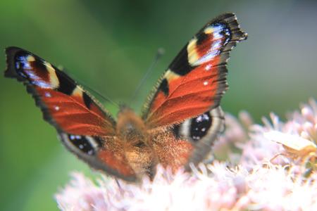 animalitos tiernos: Peacock butterfly on flower
