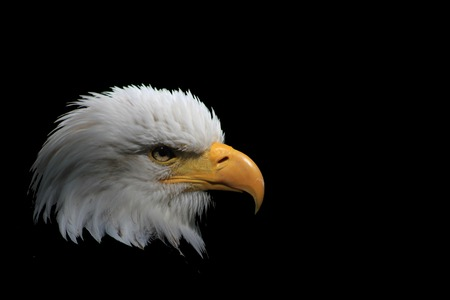 raptorial: White-headed eagle heraldic bird of the United States of America Stock Photo