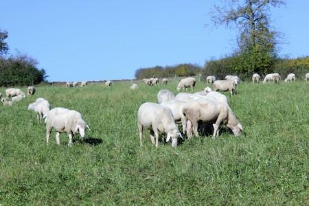 Bock or aries and female sheep