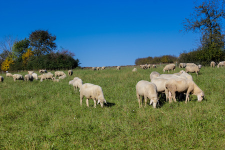 Bock or aries and female sheep. Stock photography Bock or aries and female sheep