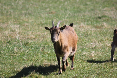 Goat living on a meadow free-roaming  Organic farming  Species-appropriate animal husbandry