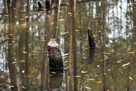 Beavers cut down trees to build their dam and create a wetland where they live. Stockfoto