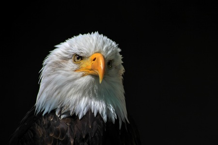 White-headed eagle  heraldic bird of the United States of America