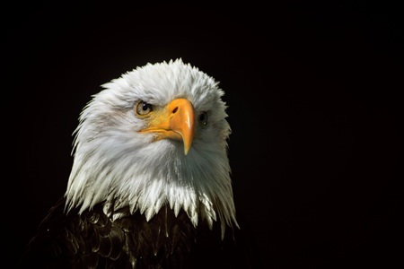 White-headed eagle / heraldic bird of the United States of America Standard-Bild