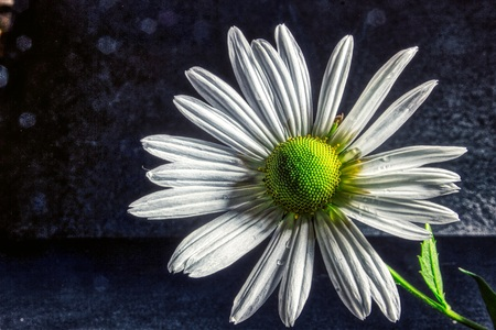 Marguerite daisy Flower blossom / Flowers of the magic of summer