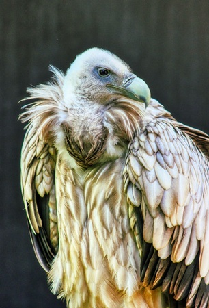 Portrait of a Egyptian vulture Stockfoto