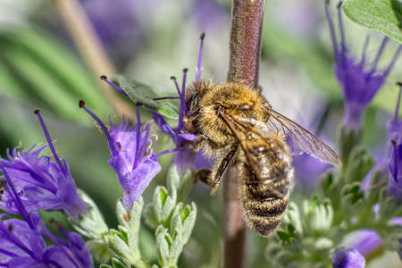 Honey bee collects nectar and pollinates the blossom